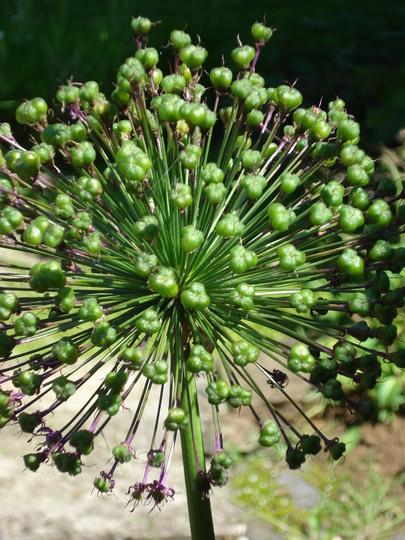 Seed head of Alium sensation