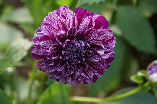 "Dahlia ""Marble Ball "" (Dahlia Pinnata { Decorative Dahlia})"