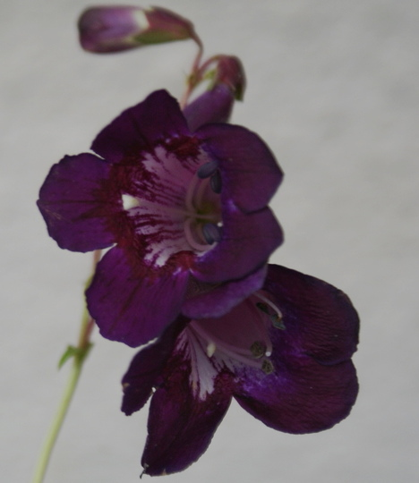 "Penstemon ""Black Knight"" (Penstemon heterophyllus {Penstemon})"