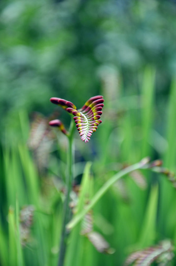 Escape to the country (Crocosmia x crocosmiiflora (Montbretia))