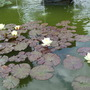 Lily pond in walled garden (Arley)