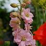 Larkspur pink.... (Consolida orientalis (Larkspur))