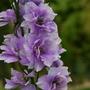 Larkspur double blue.... (Consolida orientalis (Larkspur))