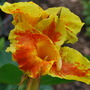 Canna..... (Canna indica (Indian shot plant))