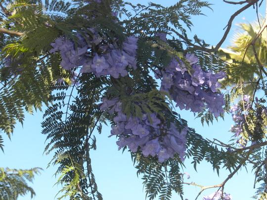 Jacaranda mimosifolia - Jacaranda Flowers (Jacaranda mimosifolia - Jacaranda)
