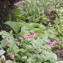 Dicentra and Hostas (Dicentra spectabilis (Bleeding heart))