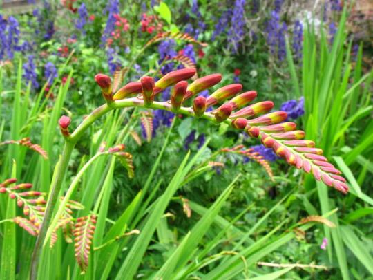 Crocosmia flower buds @ Llanthony Priory (Crocosmia x crocosmiiflora (Montbretia))