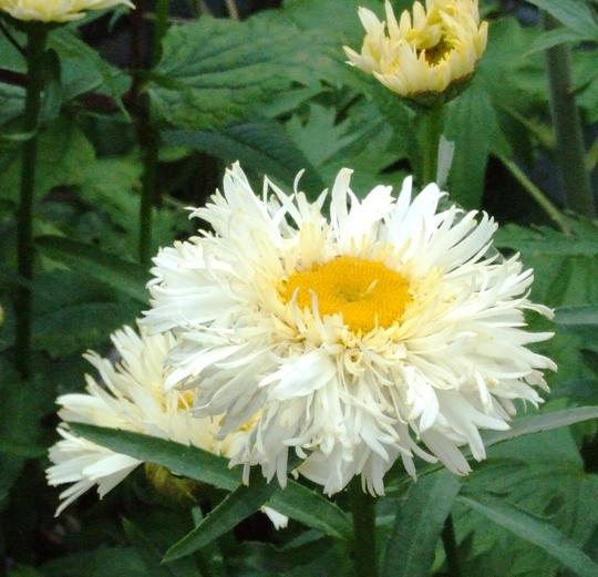 Leucanthemon Goldrush.