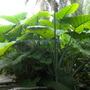 Xanthosoma sagittifolium - Yautia, Arrowleaf Elephant Ear (Xanthosoma sagittifolium - Yautia, Arrowleaf Elephant Ear)