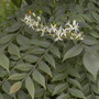 Murraya koenigii -  Curry Leaf Tree Flowers (Murraya koenigii -  Curry Leaf Tree)