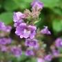 Chaenorrhinum_origanifolium_blue_dream_2