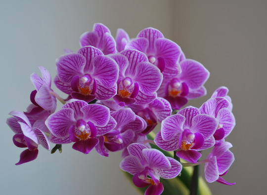 Anniversary Pressie......  (Phalaenopsis violacea)
