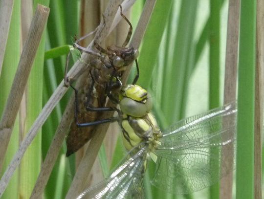 Dragonfly transforming.