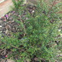 Leptospermum_scoparium_red_damask_