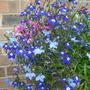 Lobelia Sapphire (Blue Basket) (Lobelia Sapphire (Blue Basket))