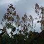 Macleaya microcarpa (Plume poppy)