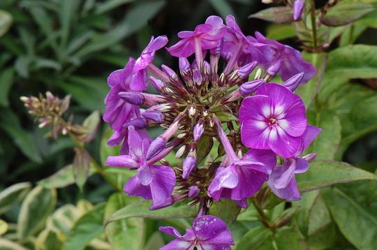 Phlox paniculata 'Purple Kiss' (Phlox paniculata (Perennial phlox))