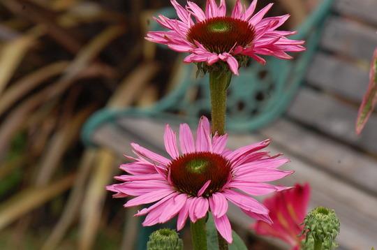 Echinacea 'Ruby Giant' (Echinacea purpurea (Coneflower))