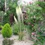 Eremurus   ' Foxtail Lily ' (Eremurus robustus (Foxtail lily))