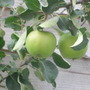 Apple tree in training