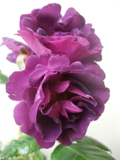 Rosa 'Rhapsody in Blue' (Rosa)