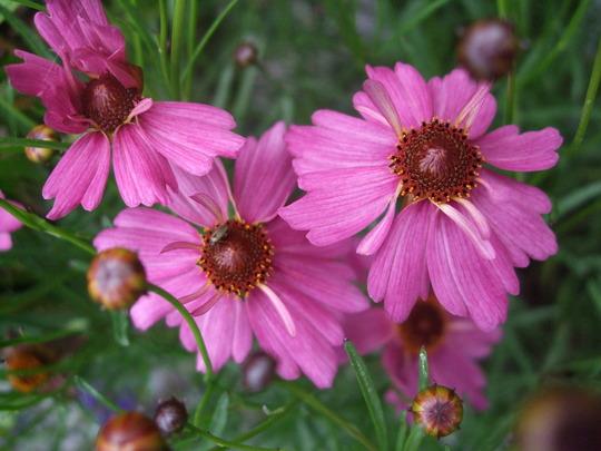 Coreopsis rosea 'Limerock Passion' (Coreopsis rosea (Tickseed))