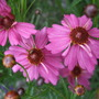 Coreopsis rosea 'Limerock Passion' (Coreopsis rosea (Tickseed))
