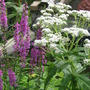 Eupatorium and Purple Loosestrife