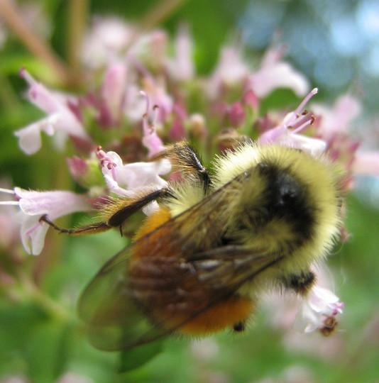 Busy bee on oregano blossom