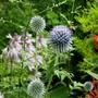 Echinops, hosta, monarda