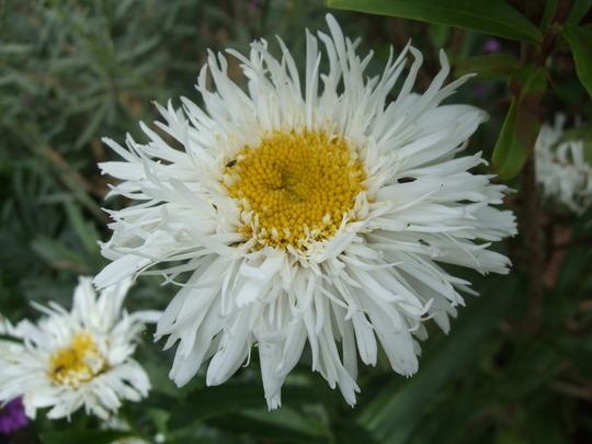 Leucanthemum 'Aglaia' (Leucanthemum x superbum (Shasta daisy))