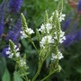 Verbena hastata 'White Spires' (Verbena hastata)