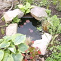 New Pond Residents (Hosta sieboldii 'Wide Brim')