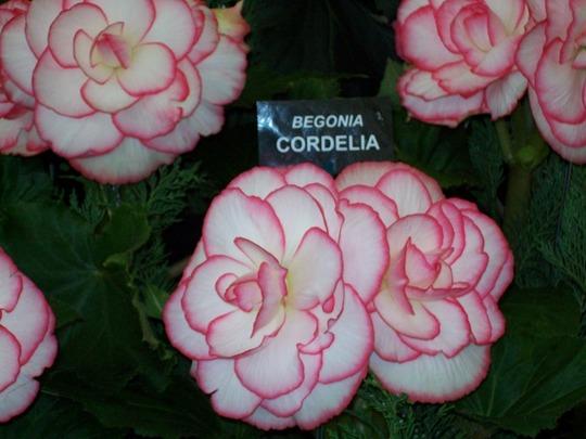 100_1223.jpg (double tuberous Begonia)