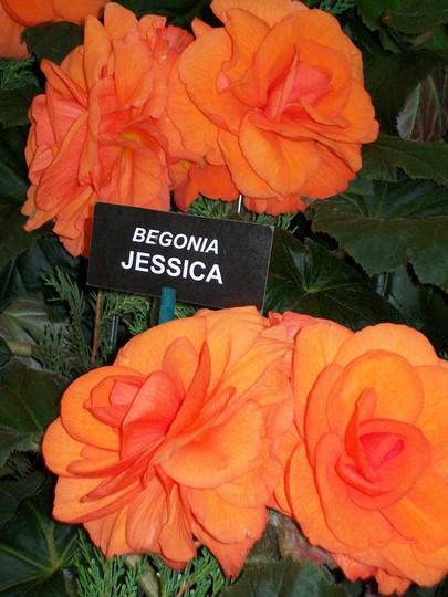100_1224.jpg (double tuberous Begonia)