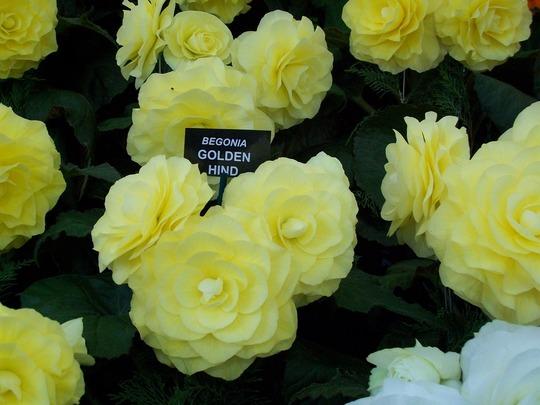 100_1226.jpg (double tuberous Begonia)