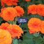 100_1227.jpg (double tuberous Begonia)