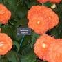 100_1229.jpg (double tuberous Begonia)