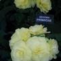 100_1230.jpg (double tuberous Begonia)