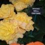 100_1231.jpg (double tuberous Begonia)