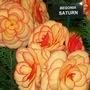 100_1232.jpg (double tuberous Begonia)