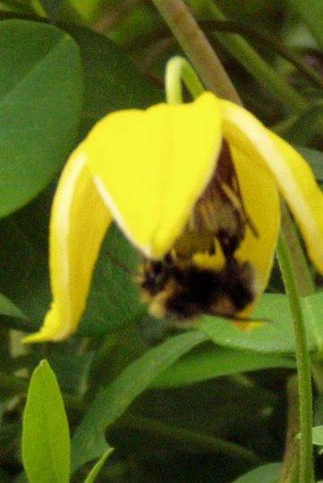 Bee on Flower (Clematis orient)