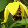 Bee on Flower (Clematis orient)