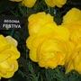 100_1233.jpg (double tuberous Begonia)