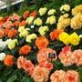 100_1234.jpg (double tuberous Begonia)