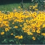 Brown_eyed_susan