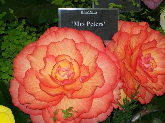 100_1260.jpg (double tuberous Begonia)