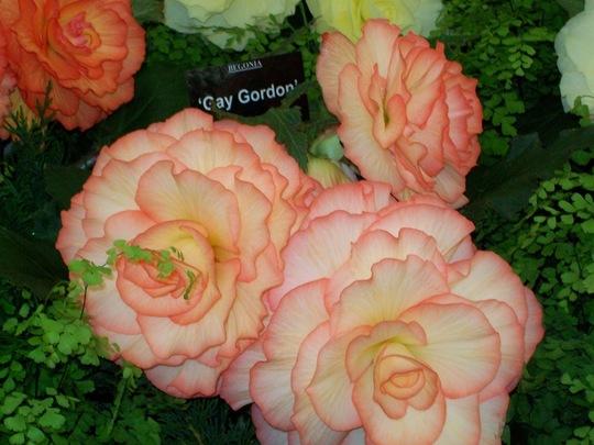100_1261.jpg (double tuberous Begonia)