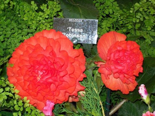 100_1262.jpg (double tuberous Begonia)