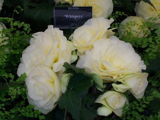 100_1264.jpg (double tuberous Begonia)